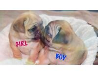 KC registered AMAZING Pug Puppies for sale! 1 Girl & 2 Boys