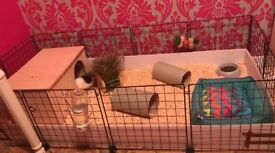 C&C Guinea Pig/Rabbit Cage 149cm Basically New Condition