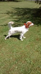 Registered English Setter puppy
