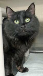 "Young Male Cat - Domestic Medium Hair: ""Chester Jester"""
