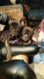 Two beautiful boys French bulldog looking for there new home.