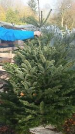 Real Christmas Tree - Free delivery Stoke on Trent area
