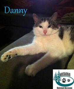 "Young Male Cat - Domestic Short Hair: ""Danny - Gentle Fellow!"""