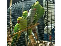 HIGH & STRONG QUALITY Baby Indian Ringneck Parrots [£90 EACH] For Sale + Cages From £30