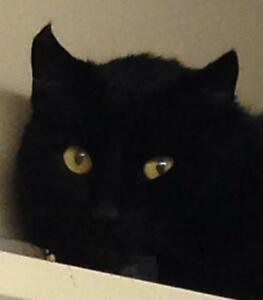 """Young Male Cat - Domestic Short Hair (Black): """"Taylor"""""""