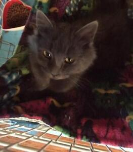 """Young Female Cat - Domestic Long Hair: """"Rachelle"""""""