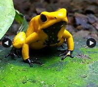 Amazon Milk Frogs and various Dart Frogs