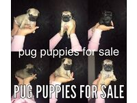 PUG PUPPIES FOR SALE!!