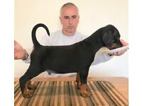 Top Quality Male & Female Dobermann Puppies For Sale