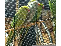BEST QUALITY Budgies/Canary/Parrotlets/Indian Ringneck Parrots FOR SALE