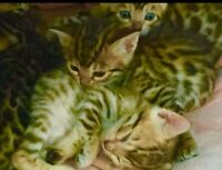 LEOPARD BENGAL KITTENS WITH OUTSTANDING QUALITY FOR SALE