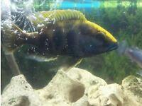 Nimbochromis venustus cichlid