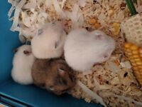 Baby Syrian Hamsters- Ready Now