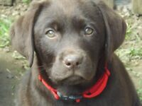 3 Chocolate Labrador Puppies For Sale- 2 Girls and 1 Boy