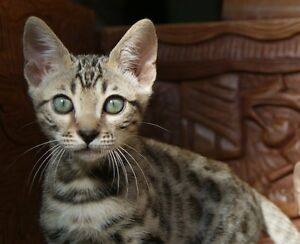 RIMAR BENGALS has 1 MALE COMPANION kitten @ 12 weeks