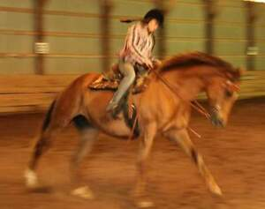Registered 16 Hand Thoroughbred Mare