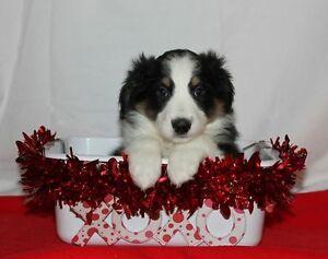 Registered Miniature Australian Shepherd Puppies