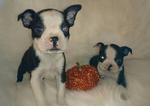 Male and Female Boston Terrier Puppies!!