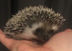 Sweetest home raised baby Pygmy Hedgehogs! Ready to go now