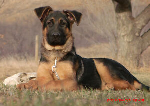 Pure 3 months old Male German Shepherd pup for sale!!!