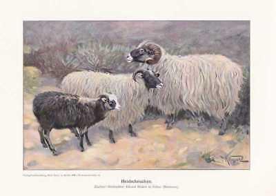 Heidschnucken Schafe FARBDRUCK von 1925 Reprint