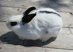 Free to good homes - male and female rabbit
