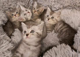 Beautiful half Scottish straight kittens available