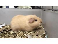 Blonde female guinea pig