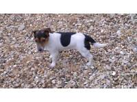 Jack russell puppy 10 months old