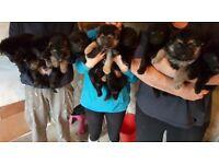 Adorable German Shephard Puppies