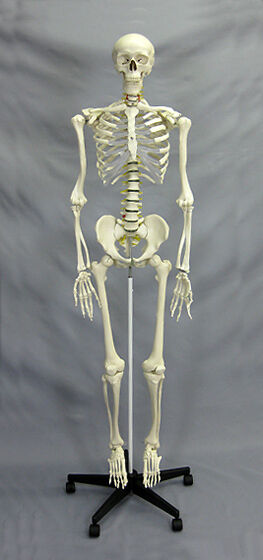 deluxe human skeleton life size educational | ebay, Skeleton
