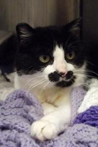 """Adult Female Cat - Domestic Short Hair: """"Mrs. Claws"""""""