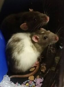 2 Rats and ALL SUPPLIES for Sale- Paid over $400 for everything