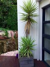 Two Large Yucca Plants Northbridge Willoughby Area Preview