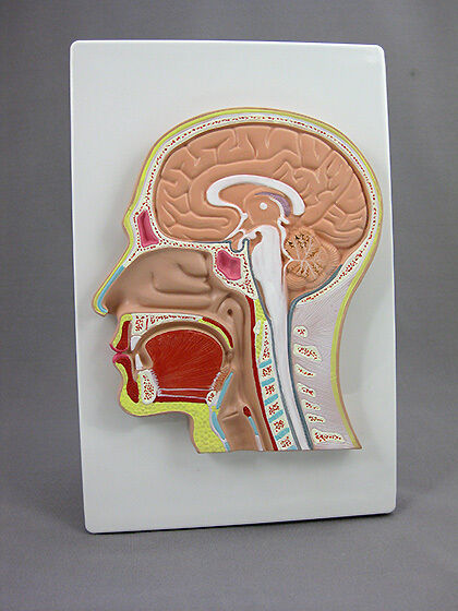 Median Section of Head and Neck Model, Anatomical Model, NEW