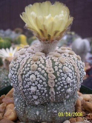 Astrophytum Asterias Super Kabuto Exotic Rare Japan Cactus Cacti Seed 50 Seeds