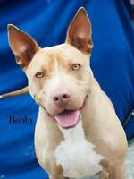 """Young Male Dog - American Staffordshire Terrier: """"Bobby"""""""