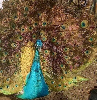 3 India Blue Black Shoulder Peacock Hatching Eggs -- Presale