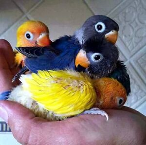 Masked Baby Lovebirds.  Hand Tame and Handfed.