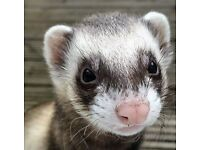Very friendly neutered 3 yr old male ferret free to good home with food and litter