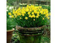Tete a tete daffodil bulbs flowers