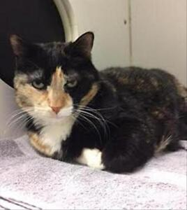 "Senior Female Cat - Domestic Short Hair: ""Sadie"""