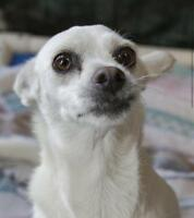 "Adult Female Dog - Chihuahua-Jack Russell Terrier: ""Queenie"""