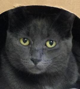 """Young Female Cat - Domestic Short Hair-gray: """"Puddle"""""""