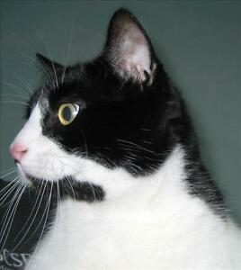 "Adult Male Cat - Domestic Short Hair: ""Oliver"""
