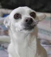 """Adult Female Dog - Chihuahua-Jack Russell Terrier: """"Queenie"""""""