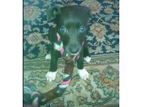 9week pup girl...PattaDale