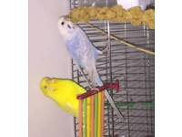 2 young budgies free to good home