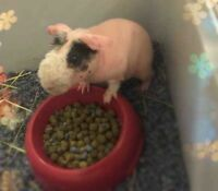 Skinny pig looking for a new home(price include cage)