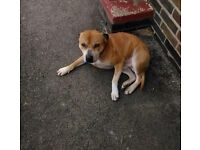 Staffy need of a good home